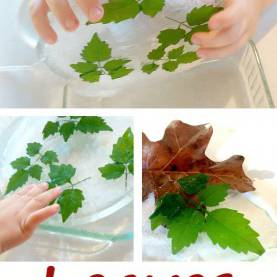 Simple Leaf Experiments For Preschoolers Preschool Leaf Science Experiment | Preschool Powol Pac