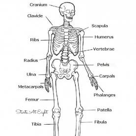 Newest Lesson Plan In Science 4 Skeletal System The Skeletal System: Hands-On Learning Resources | Skeletal Syste